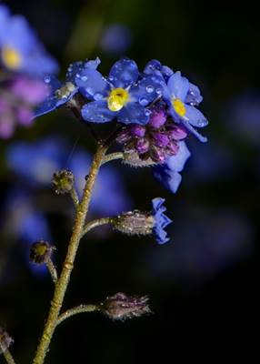 Dew Drops on Forget-me-not Flowers